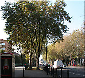 TQ3581 : London Planes, Mile End Road by Dr Neil Clifton