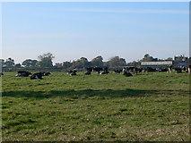 SJ4324 : Field of Friesians at  Weston Lullingfields by Eirian Evans