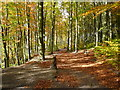 SK3272 : Linacre Beech Wood in Autumn by Alan Heardman