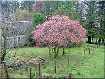 NG4162 : Autumn Cherry at Balnaknock by Dave Fergusson