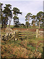 NY6663 : Small shelterbelt of Scots pine by Marcus Byron