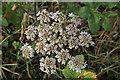 SK4841 : November flowers - Hogweed/Cow Parsnip by Alan Murray-Rust
