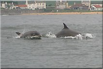 NT4899 : Bottle nose dolphins in Elie Bay by Bill Blacklaws