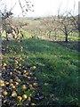 SO7550 : Pear orchard near The Beck by Trevor Rickard