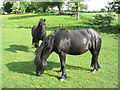 NY5372 : Fell Ponies on the Mossfoot by Mark Taylor