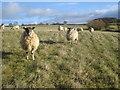 SO7435 : Sheep on Howler's Heath by Trevor Rickard