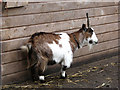 TG2626 : African Pygmy Goat by Evelyn Simak