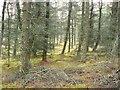 NN8362 : Larch woodland by Rob Burke