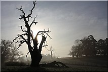 TL8162 : Silhouetted tree in Ickworth Park by Bob Jones