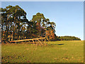 NU0215 : Scots Pine shelter belt by Walter Baxter
