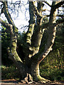 TG3130 : Gnarly trunk of ancient Sessile oak  (Quercus petraea) by Evelyn Simak