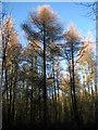 TG3130 : Larch trees (Larix europaea) by Evelyn Simak