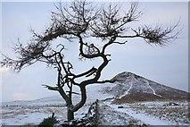 NZ5812 : Isolated Tree, Roseberry Common by Mick Garratt