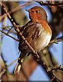 TQ2995 : Robin (Erithacus rubecula) by Christine Matthews