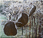 TQ3499 : Frosted Leaves at Myddelton House Garden, Enfield, Middlesex. by Christine Matthews