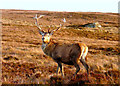 NC7935 : Red deer stag, Badanloch forest by sylvia duckworth