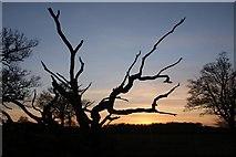 TL8063 : Dead tree at Little Saxham by Bob Jones