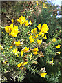 SO5187 : January Gorse Bloom in Shropshire by Roger  Kidd