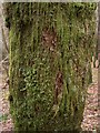 SN8095 : Moss cover on birch tree by Rudi Winter