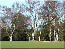 SO8388 : Birch Trees on Enville Golf Course, Staffordshire by Roger  Kidd
