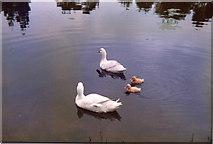 TG0934 : Ducks on Village Pond, Edgefield Green, Norfolk by Christine Matthews