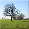 SO8295 : Oak Tree, Crops and Copse - Staffordshire by Roger  Kidd