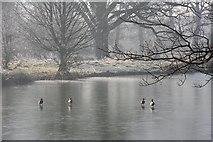 TL8063 : Duck skating by Bob Jones