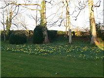 SJ0337 : Daffodils at Tyddyn Llan by Eirian Evans
