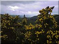 SN5671 : Gorse above Cwm Carrog by Rudi Winter