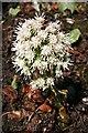 NJ5849 : White Butterbur (Petasites albus) by Anne Burgess
