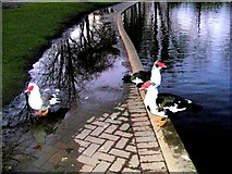 NJ2163 : Muscovy ducks at Cooper Park by Ann Harrison