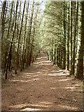 SJ1663 : Short-Cut Footpath through the Clwyd Forest. by David Quinn