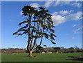 SX9795 : Multi-branched pine, Poltimore Park, Devon by Rodney Burton