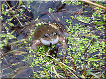 NT6578 : Mr Toad (Bufo bufo) by Lisa Jarvis