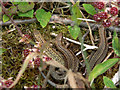 SO3383 : Lizards near path to Bury Ditches by paul dickson