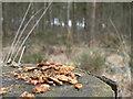 SE7647 : Squirrel's scraps by bernard bradley