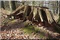 SO5312 : Old tree stump, Beaulieu Wood by Philip Halling
