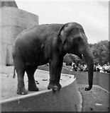 TQ2883 : Indian Elephant, London Zoo, Camden, taken 1967 by Christine Matthews