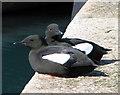J5082 : Black Guillemots, Bangor [2] by Rossographer