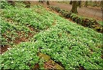 J4772 : Wood anemone, Killynether Wood by Albert Bridge
