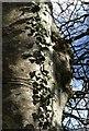 SX8979 : Ivy on beech tree by Derek Harper