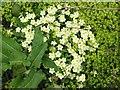 NR3746 : Roadside primroses by Gordon Hatton
