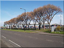 NZ5120 : Line of trees, South Bank Road by Stephen McCulloch