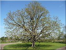 SP2050 : Chestnut leafing-up by Jonathan Billinger