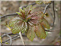 TG2030 : Sycamore - Stages of opening leaf buds (3) by Evelyn Simak