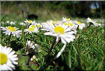 J4772 : Daisy near Scrabo [3] by Rossographer