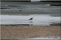 SD0894 : Heron Fishing the Esk Estuary (2) by Steve Partridge