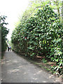 TG0634 : Rhododendron-lined drive through Lodge Plantation by Evelyn Simak