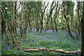 SW8341 : Bluebells in the woods to the north of Cowlands Creek by Fred James
