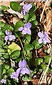 NJ0154 : Sweet Violet (Viola odorata) by Anne Burgess